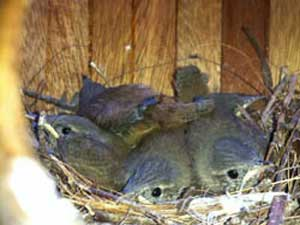 baby birds in birdhouse